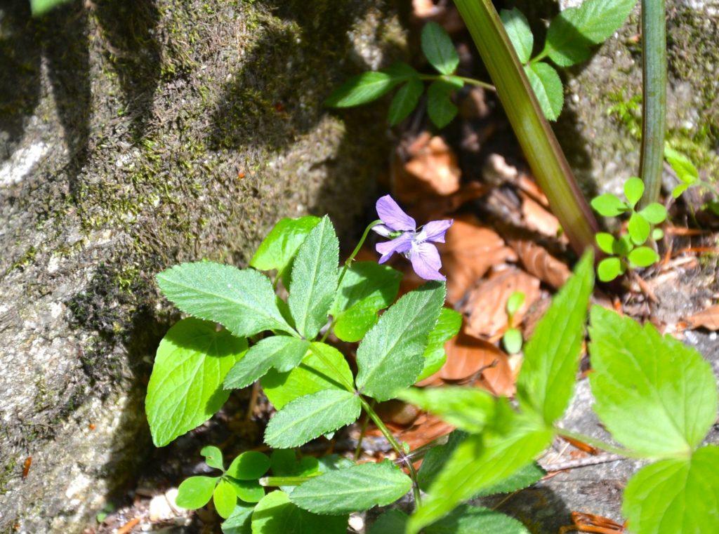 Viola valderia